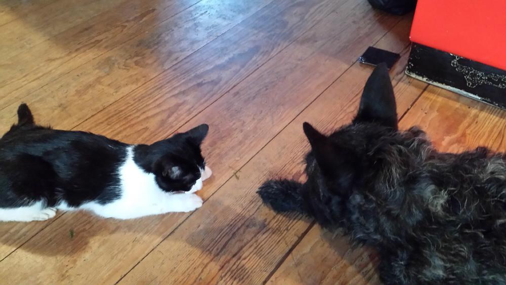 Dierenkliniek Tiel-Drumpt: Een kat vergiftigd: Dino de kat was vergiftigd door een vlooienpipet.