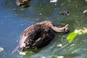 Dierenkliniek Tiel-Drumpt: De bacterie Clostridium Botulinum, die botulisme kan veroorzaken, kan onder andere gevonden worden in dode vogels.