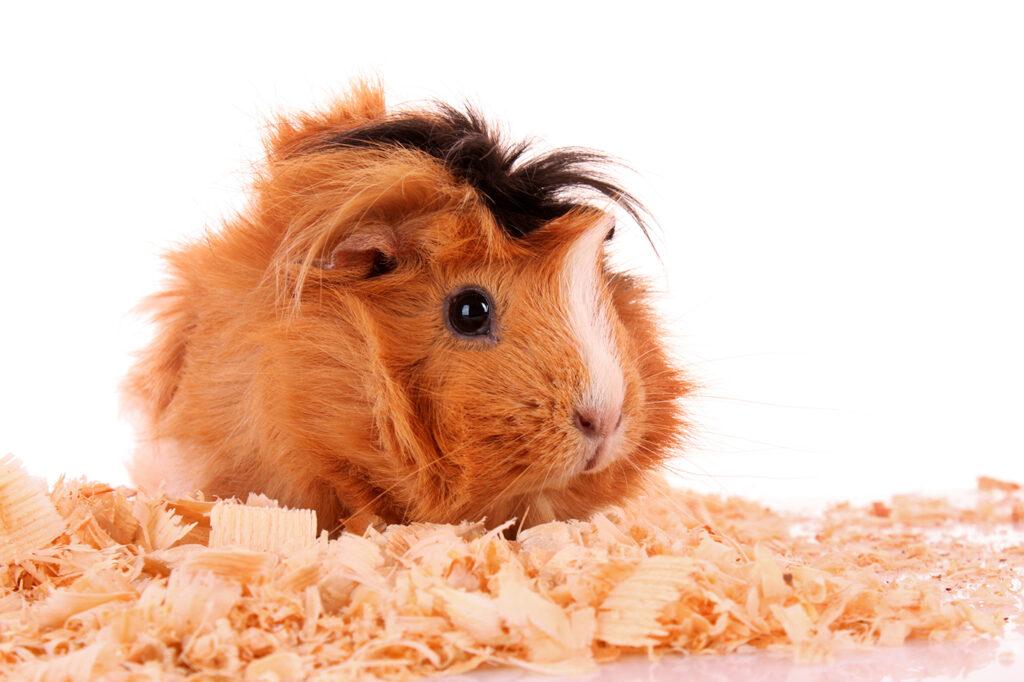 Dierenkliniek Tiel-Drumpt: Zaagsel in het hok van uw konijn of knaagdier..schadelijk?!