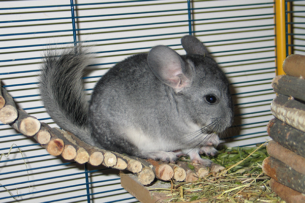 Dierenkliniek Tiel-Drumpt: Chinchilla in het hok.