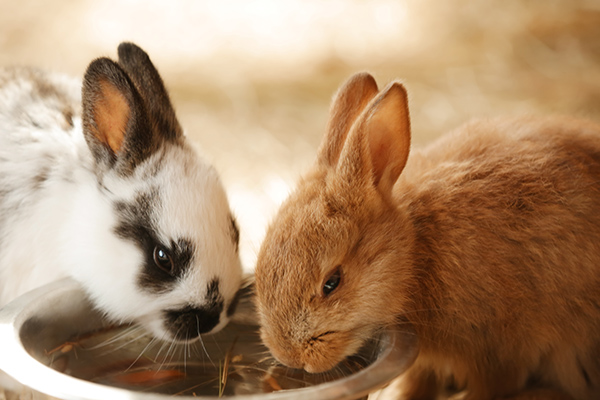 Dierenkliniek Tiel-Drumpt: Wat eet een konijn? Behalve eten is ook drinken van belang. Dit kan uit drinkflesjes en uit drinkbakjes.