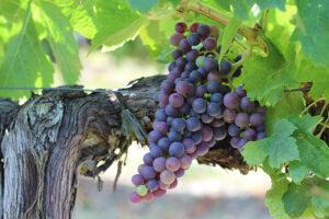 Dierenkliniek Tiel-Drumpt: Druivenvergiftiging, we kennen allemaal de druiventrossen.