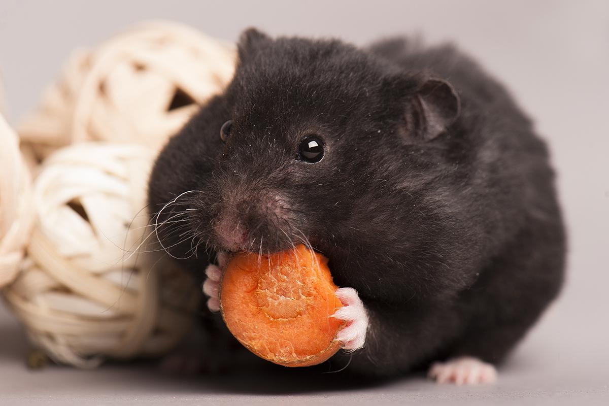 Dierenkliniek Tiel-Drumpt: De hamster staat bekend om de grote wangzakken. Hier kunnen ze heel wat voer in kwijt.