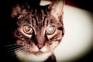 Dierenkliniek Tiel-Drumpt: Een verhoogde oogboldruk bij de kat, ook wel glaucoom genoemd. De dierenarts kan dit diagnosticeren, door de druk te meten.