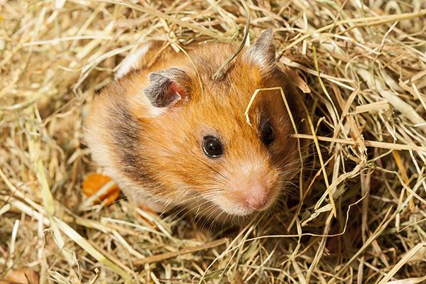 Dierenkliniek Tiel-Drumpt: Er zijn allerlei weetjes te noemen over hamsters.