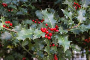Dierenkliniek Tiel-Drumpt: De gevaren van vergiftiging, van hond en kat, rond kerst & oudjaar: Hulst
