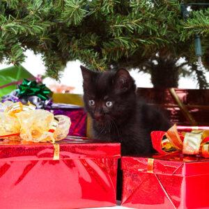 Dierenkliniek Tiel-Drumpt: De gevaren van vergiftiging, van hond en kat, rond kerst & oudjaar: De kat onder de kerstboom