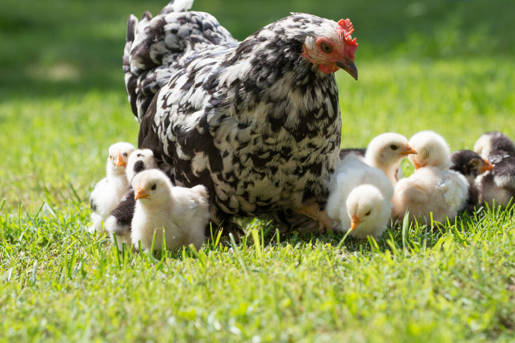 Dierenkliniek Tiel-Drumpt: Moederkip met kuikens. Vogelgriep blijft een risico.
