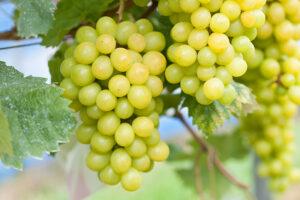 Dierenkliniek Tiel-Drumpt: Druivenvergiftiging, de muskaatdruif