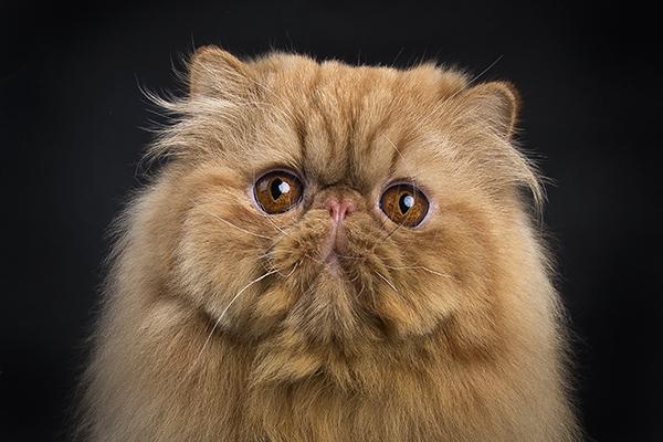 Dierenkliniek Tiel-Drumpt: Designerdieren, een genot of een gevaar? De rode Perzische kat nu.