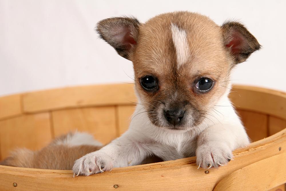 Dierenkliniek Tiel-Drumpt: Broodfokkers weten heel goed hoe schattig pups zijn.
