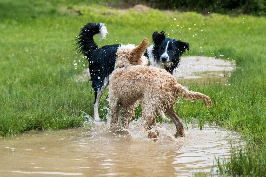 Dierenkliniek Tiel-Drumpt: Honden die niet gevaccineerd zijn, kunnen Weil oplopen door water en/of door onderling contact.