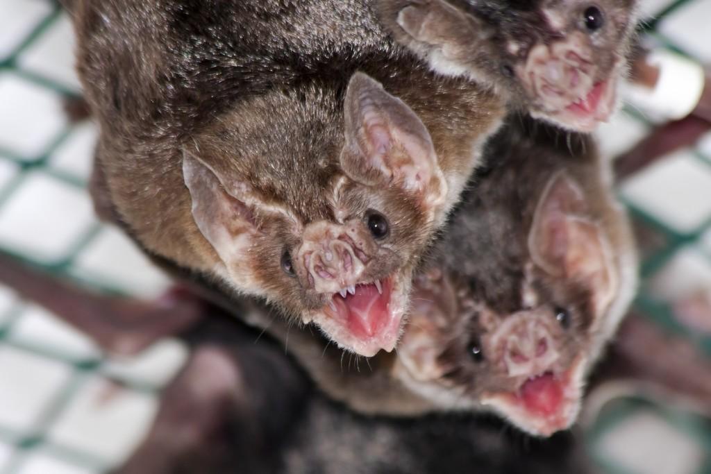 De vampiervleermuis komt in Nederland niet voor.