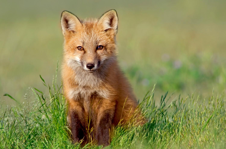 Dierenkliniek Tiel-Drumpt: Toename vossenlintworm rondom Maastricht. Een vos kan de verspreider zijn van de vossenlintworm