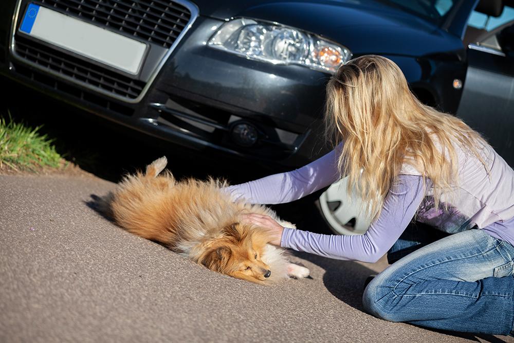 Dierenkliniek Tiel-Drumpt: Wanneer u een gewond dier helpt, zoals een aangereden hond, pas ook goed op u zelf.