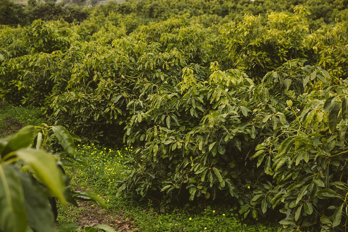 Dierenkliniek Tiel-Drumpt: Avocado vergiftiging, de avocado boom.