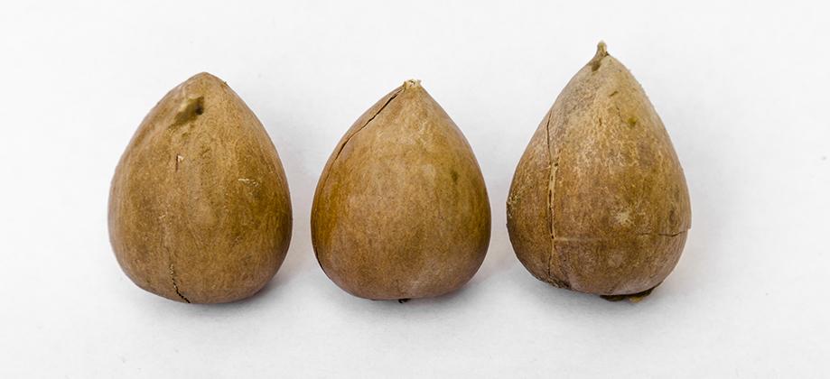Dierenkliniek Tiel-Drumpt: Avocado vergiftiging: De pit is gevaarlijk omdat het een mechanische verstopping kan geven.