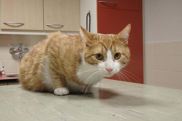 Dierenkliniek Tiel-Drumpt: Een kat met een rare hoest. Bambino, een kat uit Maurik, is net van een naald bevrijd.