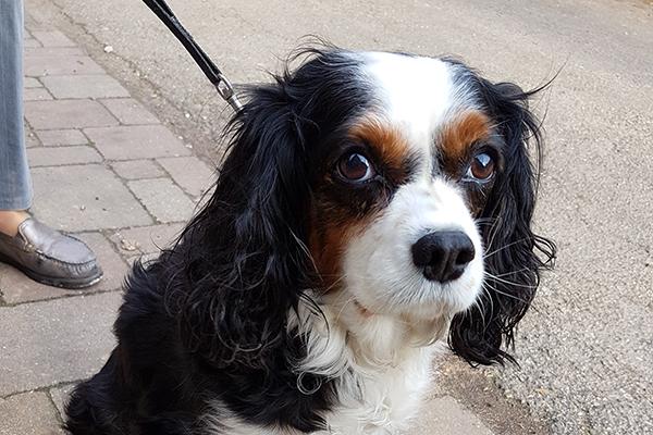 Dierenkliniek Tiel-Drumpt:Een hond met buikpijn: een blindedarmontsteking zien we bijna niet bij honden. Maar Bouli had het en is gelukkig weer geheel hersteld na de operatie.