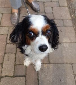 Dierenkliniek Tiel-Drumpt: Een hond met buikpijn: Bouli is weer blij en geheel hersteld van haar buikoperatie.