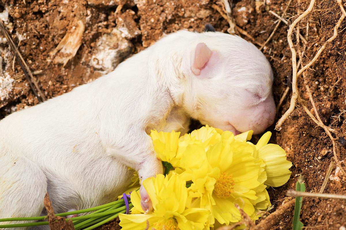 Dierenkliniek Tiel-Drumpt: Herpesvirus bij de hond: dood geboren pup