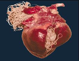 Dierenkliniek Tiel-Drumpt: Hartwormziekte: Een opengesneden hart met daarin de hartwormen. (Bron: Novartis)