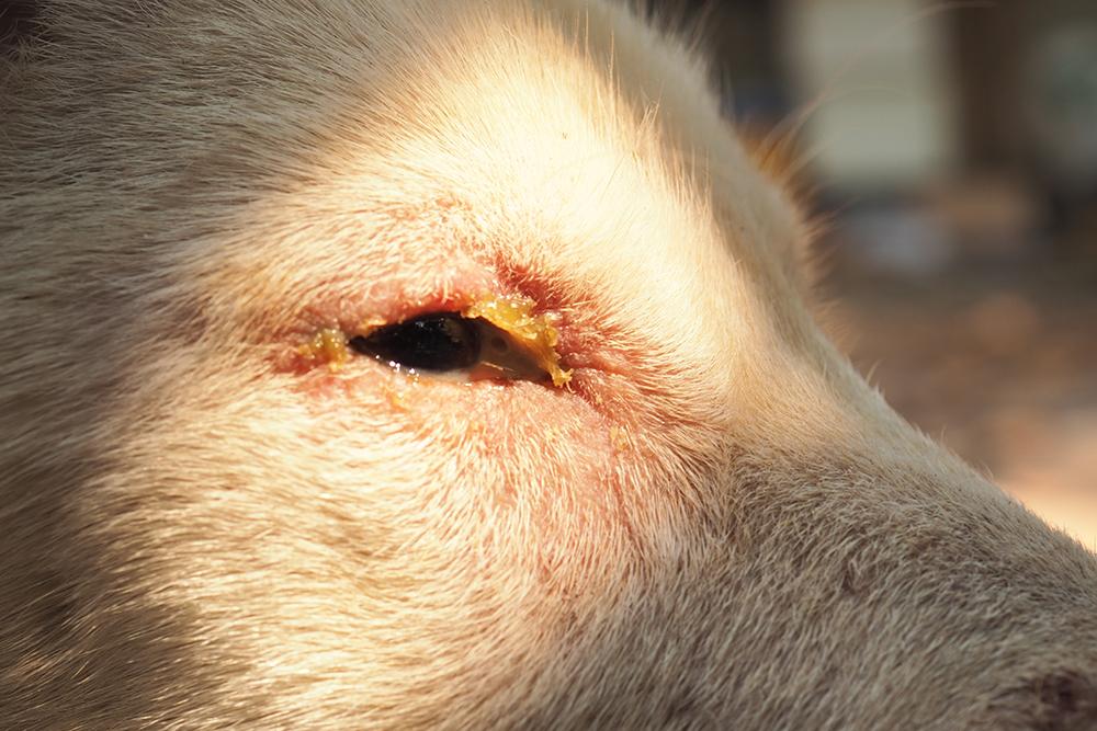 Oogontsteking bij hondenziekte