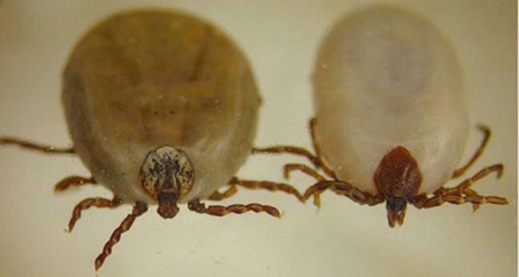 Dierenkliniek Tiel-Drumpt: Vrouwlijke Dermacentor (links) versus Ixodus (rechts).