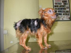 Dierenkliniek Tiel-Drumpt: Leishmania kan bij de hond vele verschijningsvormen hebben. (Bron: Virbac)