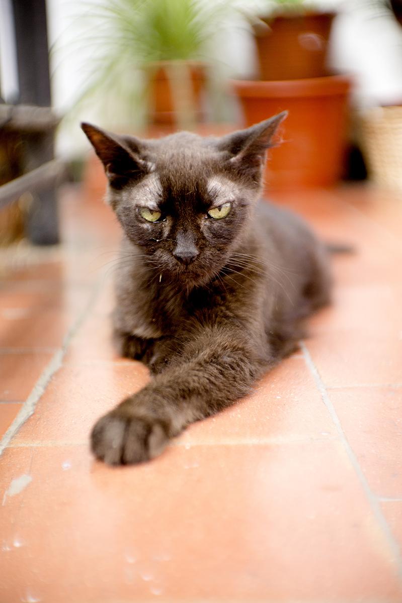 Dierenkliniek Tiel-Drumpt: Suikerziekte bij de kat, indien niet behandeld worden ze er erg ziek van.