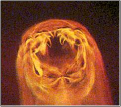 """Dierenkliniek Tiel-Drumpt: Haakwormen: de kop met de """"kaken""""van de Ancylostoma.(Bron: Novartis)"""
