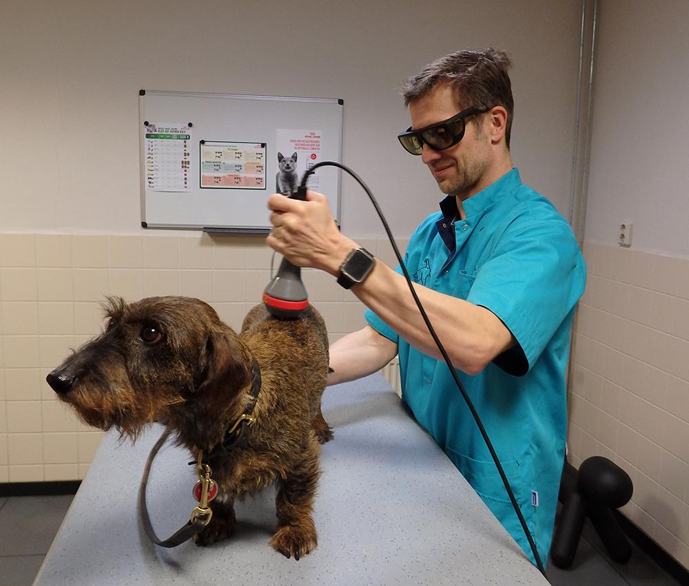 Dierenkliniek Tiel-Drumpt: Een teckel met rugpijn, behandeld met lasertherapie