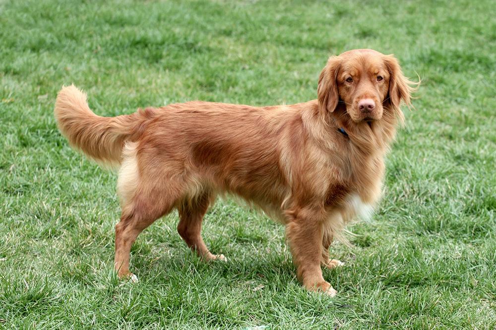 Dierenkliniek Tiel-Drumpt: Laparoscopisch steriliseren van de kleinere hond, van 9 tot 15 kg: Nova Scotia Duck Tolling Retriever