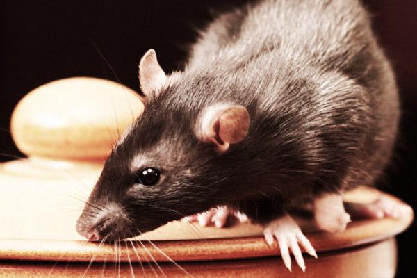 Dierenkliniek Tiel-Drumpt: Nieuw vaccin Ziekte van Weil: De rat als mogelijke verspreider van ziekte van Weil.