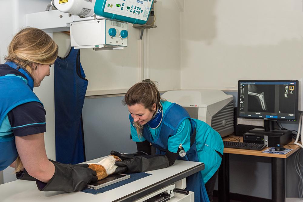 Dierenkliniek Tiel-Drumpt: Röntgenfoto's nemen van de cavia.