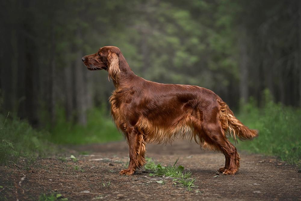 Dierenkliniek Tiel-Drumpt: Laparoscopisch steriliseren van de kleinere hond, van 9 tot 15 kg: Ierse Setter