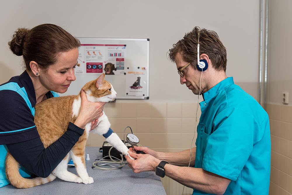 Dierenkliniek Tiel-Drumpt: Bloeddrukmeting bij de kat.