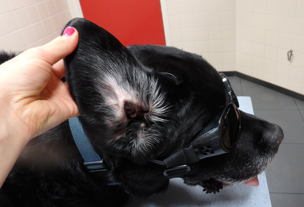 Dierenkliniek Tiel-Drumpt: Een hersteld bloedoor bij de hond.