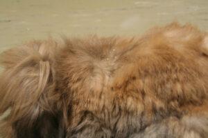Dierenkliniek Tiel-Drumpt: Vachtmijt wordt regelmatig bij het konijn gezien.