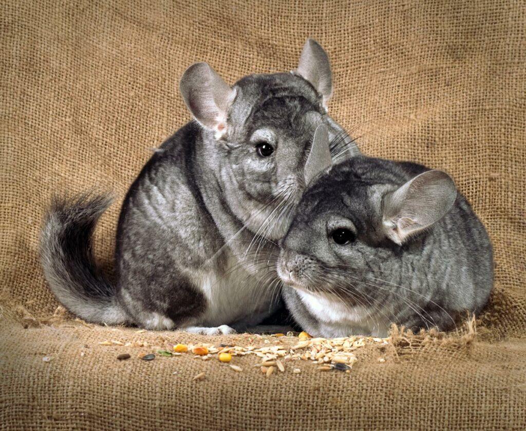 Chinchilla's moeten voorzichtig gehanteerd worden tijdens het onderzoek door de dierenarts.