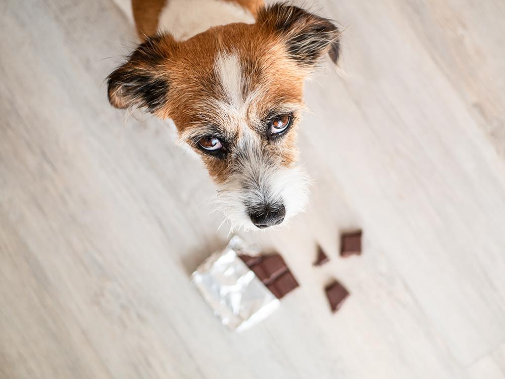 Dierenkliniek Tiel-Drumpt: Een hond die chocolade gegeten heeft.