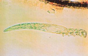 Dierenkliniek Tiel-Drumpt: Demodex bij de kat is een haarfollikelmijt. Hij kan gevonden worden doordat de dierenarts huidafkrabsels maakt en deze onder de microscoop beoordeeld.
