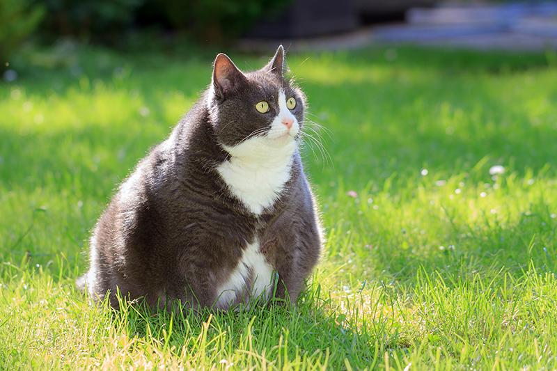 Dierenkliniek Tiel-Drumpt: Dikke katten hebben meer kans op blaasgruis.
