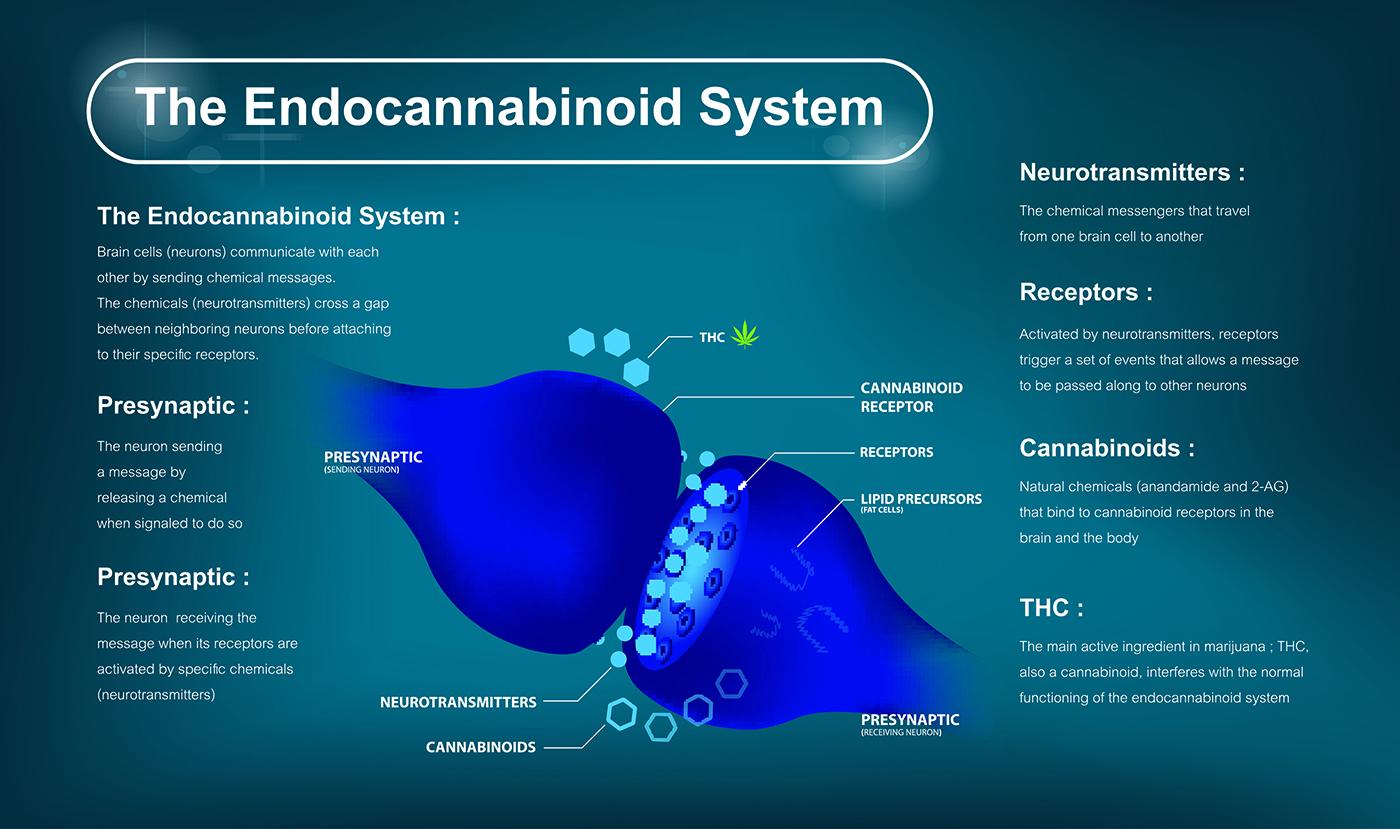 Dierenkliniek Tiel-Drumpt: Waarom wordt CBD bij de hond en de kat gebruikt? Het endocannabinoid systeem.