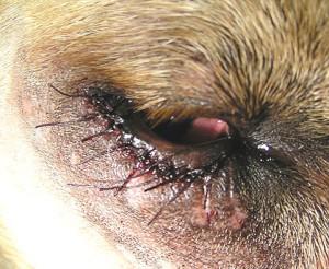 Dierenkliniek Tiel-Drumpt: Entropion bij de hond, direct na operatie zijn de oogleden nog gezwollen.