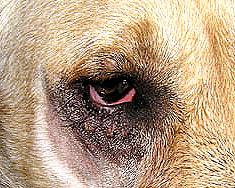 Dierenkliniek Tiel-Drumpt: Entropion bij de hond, net na het wakker worden na operatie.