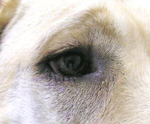 Dierenkliniek Tiel-Drumpt: Entropion bij de hond, het resultaat na operatie, vlak voor het verwijderen van de hechtingen.