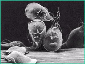 Een cyste van de parasiet Giardia (Bron: Dhr. P. Overgaauw)