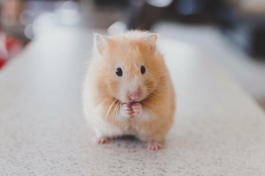 Hamsters zijn iets lastiger te onderzoeken, ze proberen met regelmaat in de vingers van de dierenarts te hangen.