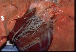 Dierenkliniek Tiel-Drumpt: Hartwormziekte: Longen en een opengesneden hart met daarin de hartwormen. (Bron: Pfizer)